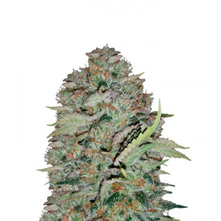 The white train Mephisto Genetics 34,00 €