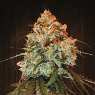 Golden Tiger Fem - Ace Seeds 32,00 €