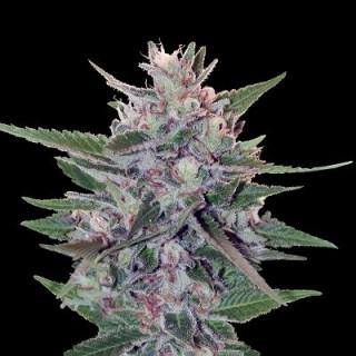Hashplant S1 - Ace Seeds féminisée 50,00€
