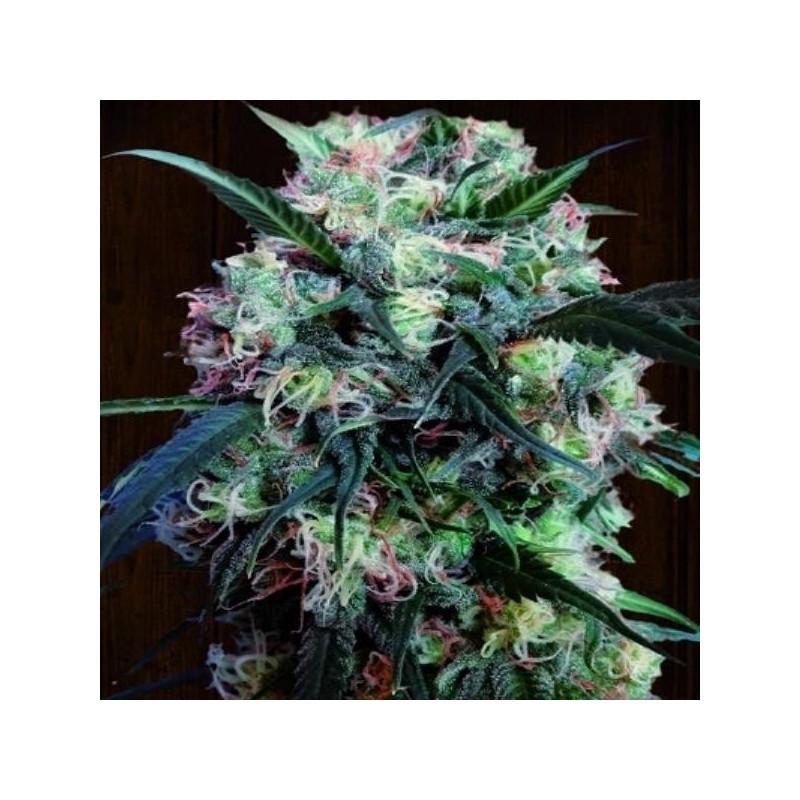 Kali China féminisée - Ace Seeds 31,00€