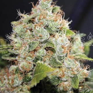BCN Sour Diesel féminisée - Medical Seeds 34,00 €