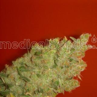 Jack la mota féminisée Medical Seeds