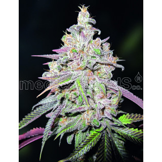 Mendocino chanel kush - Medical Seeds 23,00 €