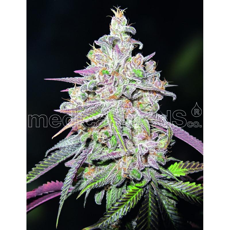 Mendocino chanel kush - Medical Seeds