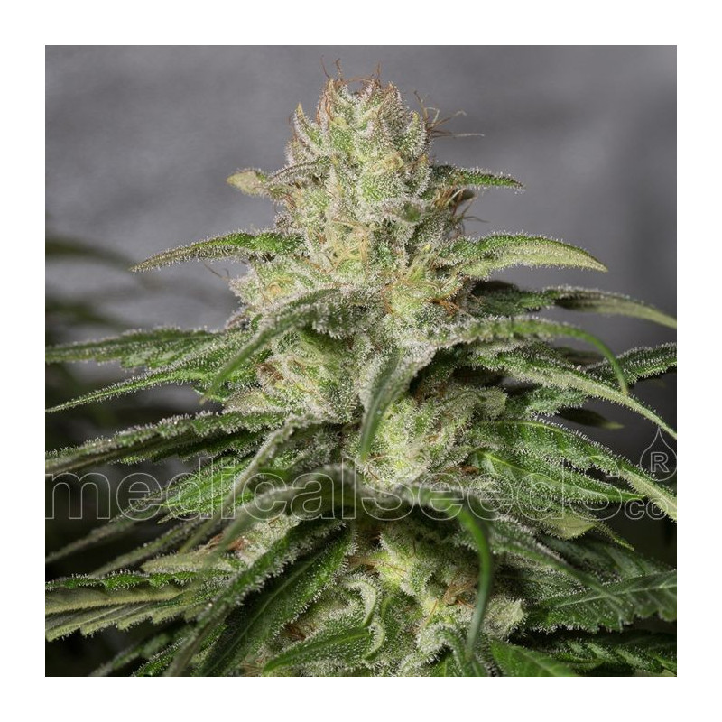 OG kush CBD Medical Seeds