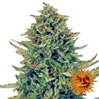 CBD Blue Shark - Barney's Farm 24,00 €