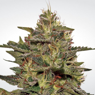 Original cheese paradise seeds féminisée 25,99 €