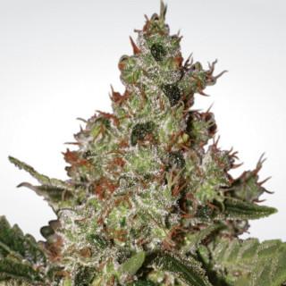 Acid paradise seeds féminisée 25,99€