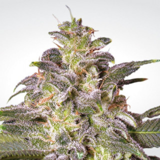 Magic bud paradise seeds féminisée 20,00 €