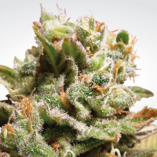 Dutch dragon paradise seeds féminisée 23,00 €