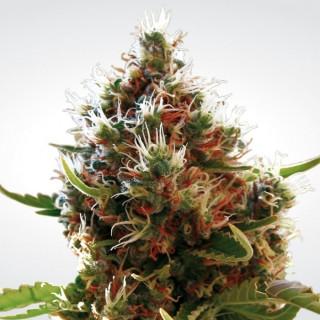 Lucid bolt paradise seeds féminisée 23,00€