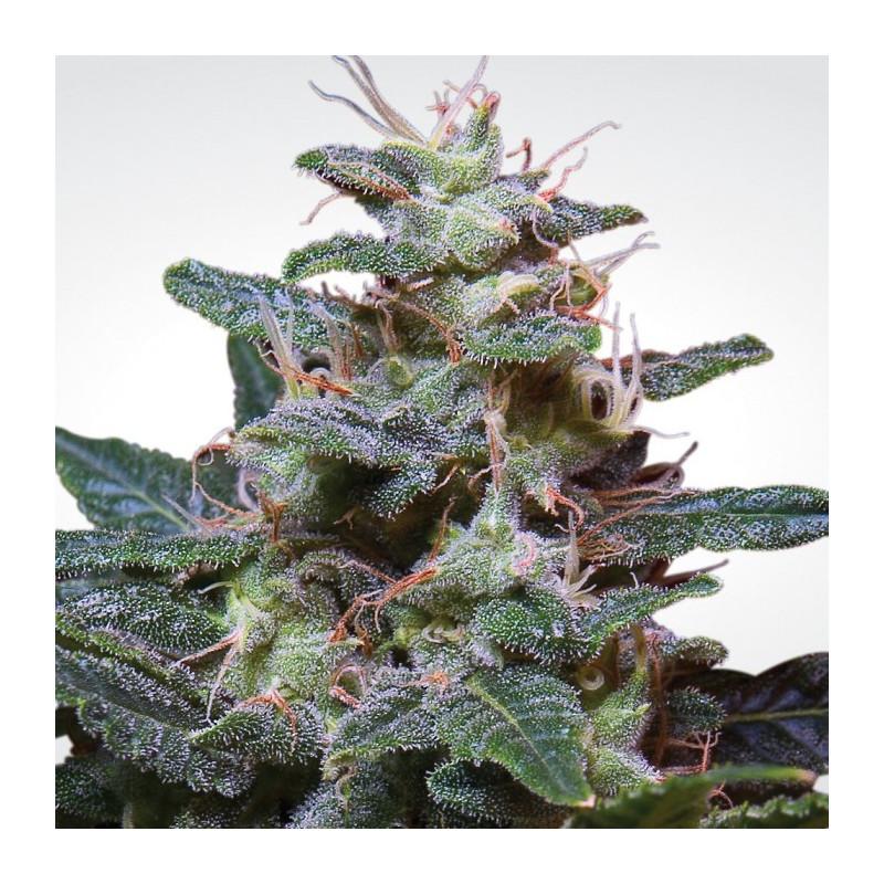 Sweet purple paradise seeds féminisée