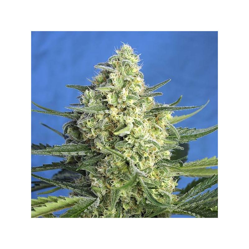 Jack 47 xl auto sweet seeds