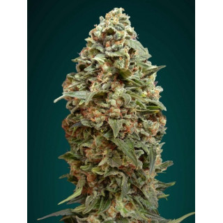 Afghan skunk advanced seeds féminisées 15,00 €
