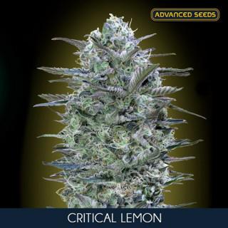 Critical lemon féminisée advanced seeds