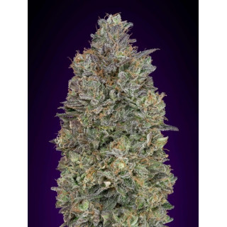 Critical purple kush féminisées advanced seeds 19,00 €