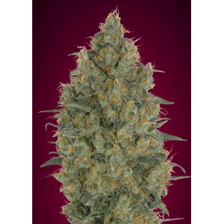 Strawberry gum advanced seeds féminisée 15,00 €