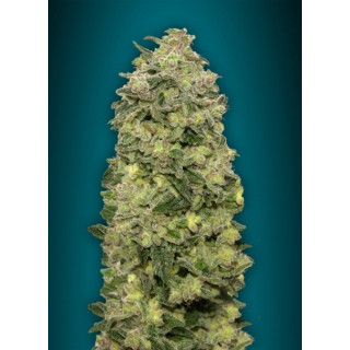 Auto afghan skunk advanced seeds 15,00 €
