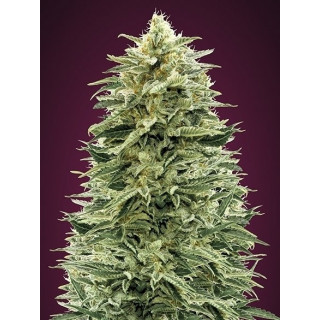 Auto amnesia advanced seeds 17,50 €