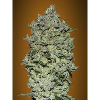 Auto biodiesel mass advanced seeds 19,00 €