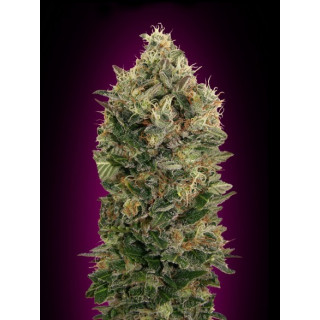 Auto black diesel advanced seeds 19,00 €