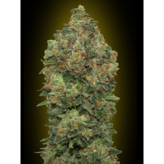 Auto critical soma advanced seeds 17,50 €