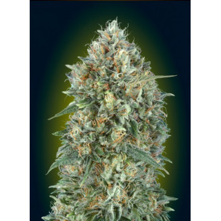 Auto gelato 33 advanced seeds 17,50 €