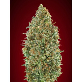 Auto Kaya 47 advanced seeds 22,00 €