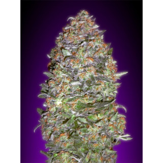 Auto Nyc diesel advanced seeds 19,00 €