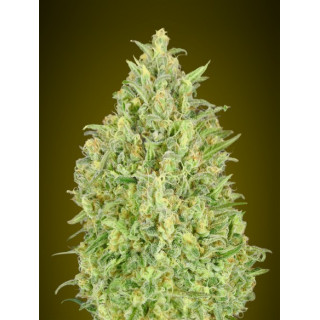 Auto pineapple glue advanced seeds 15,00 €