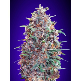 Auto purple diesel advanced seeds 19,00 €
