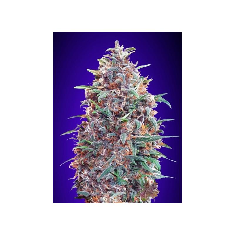 Auto purple diesel advanced seeds