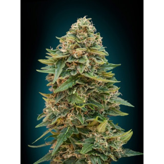 Auto skunk 47 advanced seeds 17,50 €