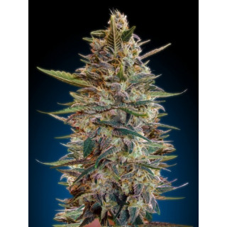 Automatic collection 2 advanced seeds 29,00 €