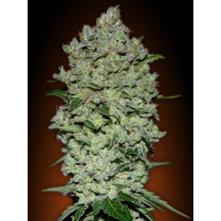 Automatik collection 1 advanced seeds 29,00 €