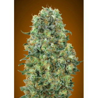 Feminized collection 6 advanced seeds 29,00 €