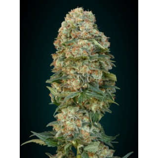 Feminized collection 1 advanced seeds 29,00 €