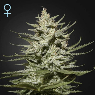 The church cbd greenhouse seeds féminisée