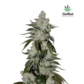 Girl scout cookies auto fastbuds 36,00€