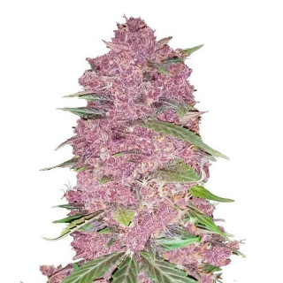 Purple lemonade auto fastbuds 36,00 €
