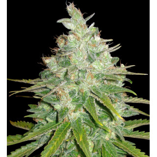 Afghan kush x black domina féminisée world of seeds 19,50 €