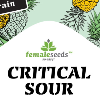 Critical sour female seeds féminisée 20,00 €
