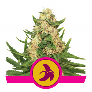 Fat banana féminisée royal queen seeds 25,00 €