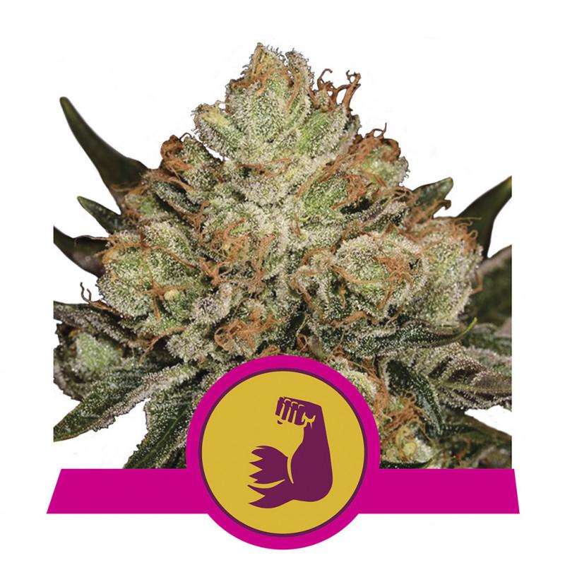 Hulkberry féminisée royal queen seeds