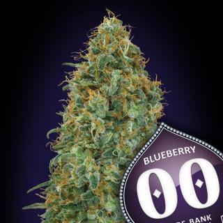 Blueberry féminisée - 00 seeds bank 19,50€