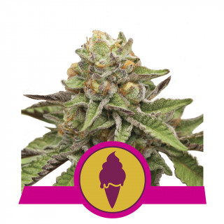 Green gelato royal queen seeds féminisée
