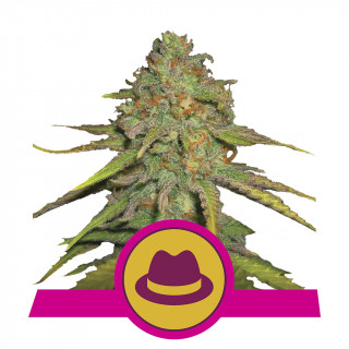 Og kush royal queen seeds féminisée