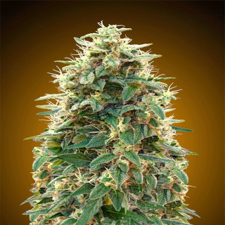 Auto 00 cheese 00 seeds bank 19,50 €