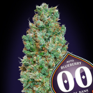 Auto blueberry 00 seeds bank 19,50 €