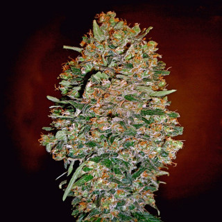 Auto chocolate skunk 00 seeds bank 19,50 €